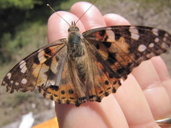 papillonbelledame